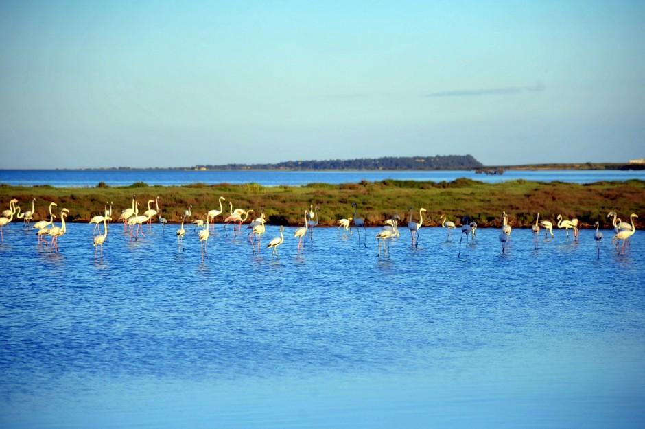 flamants rose étang corbières